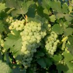 2007 07 Cantua Berger Grapes 001